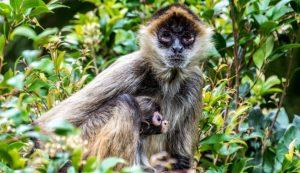 mono arana pensisnula yucatan